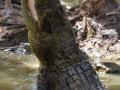 Krokodil auf Hartley's Krokodilfarm / crocodile farm