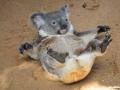 Koala - Lone Pine Sancutary