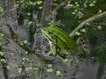Frosch / frogg