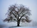 Kirschbaum im Nebel / cherry tree in the fog